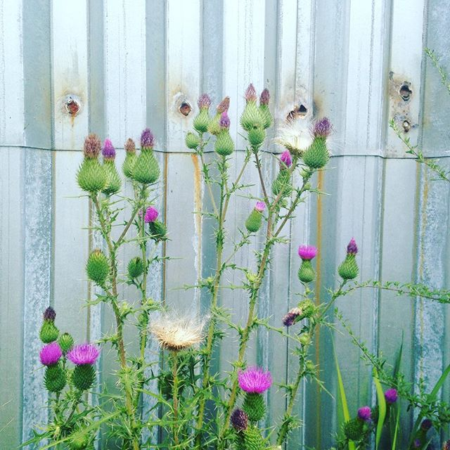 Cirsium vulgare #spontaneousurbanplants