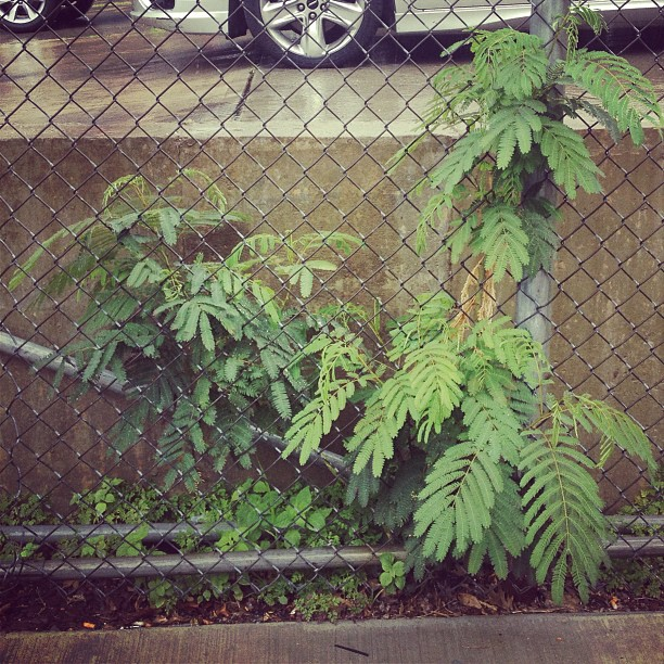 Albizia julibrissin - Silktree #spontaneousurbanplants #queenssup