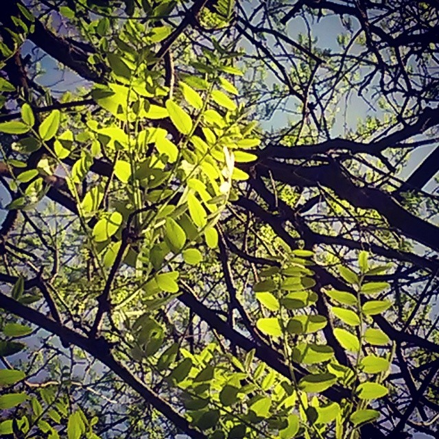 A closer view of the honey locust's once compound leaves.