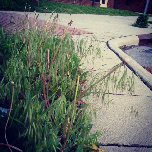 Downy brome growing along the sidewalk on High Street
