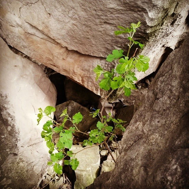 White mulberry growing between boulders