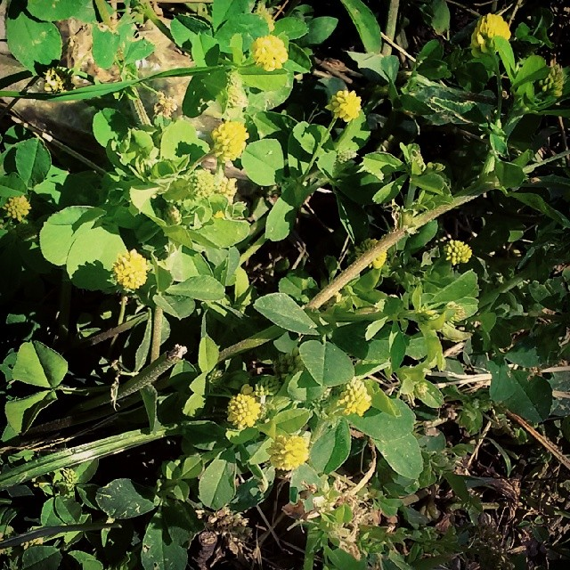 Pineapple weed by the road