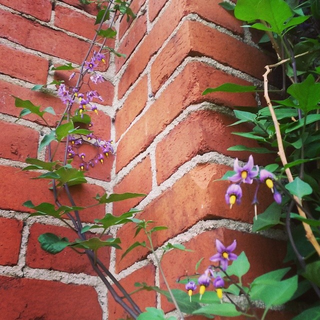 Nightshade flowers #SUPSolanumDulcamara #SUPColumbus #spontaneousurbanplants