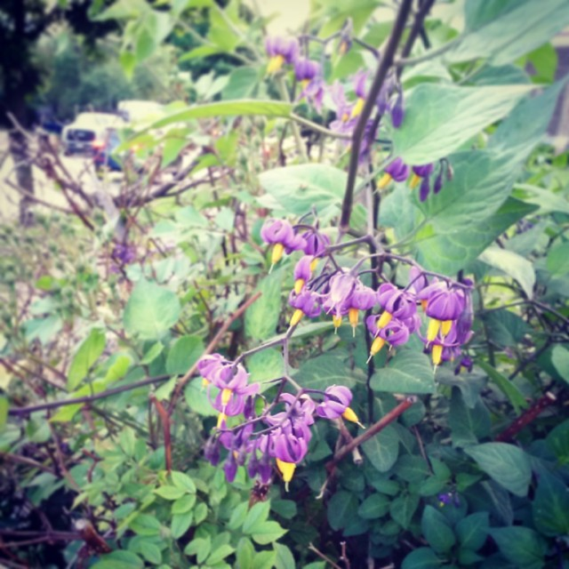 More bittersweet nightshade flowers #SUPSolanumDulcamara #SUPColumbus #spontaneousurbanplants