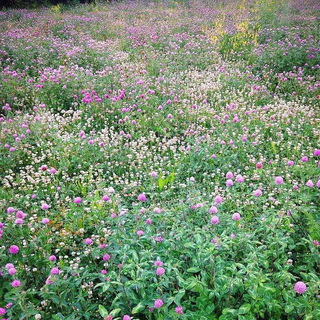 Roadside clover meadow - Red, white & sweet