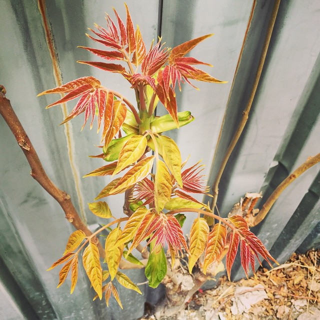 Spring is here - bring it on #ailanthus #spontaneousurbanplants